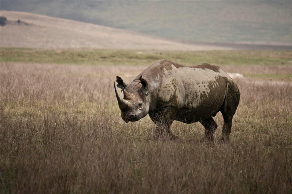 onverstoorbaar - Gemaakt in de Ngorogorokrater, Tanzania. Prachtige plaats met heel veel dieren. Ze komen ook dicht bij de auto. We hadden het geluk om een neushoorn  - foto door Mieneke op 25-02-2009 - deze foto bevat: safari, neushoorn, tanzania, ngorogorokrater