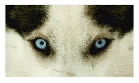 Husky's eyes - Ben net terug uit Fins Lapland. Kou, sneeuw, ijs, rendieren en husky's. Alles was present :D - foto door edojan op 11-01-2012 - deze foto bevat: ogen, detail, finland, lapland, husky, close-up, edojan