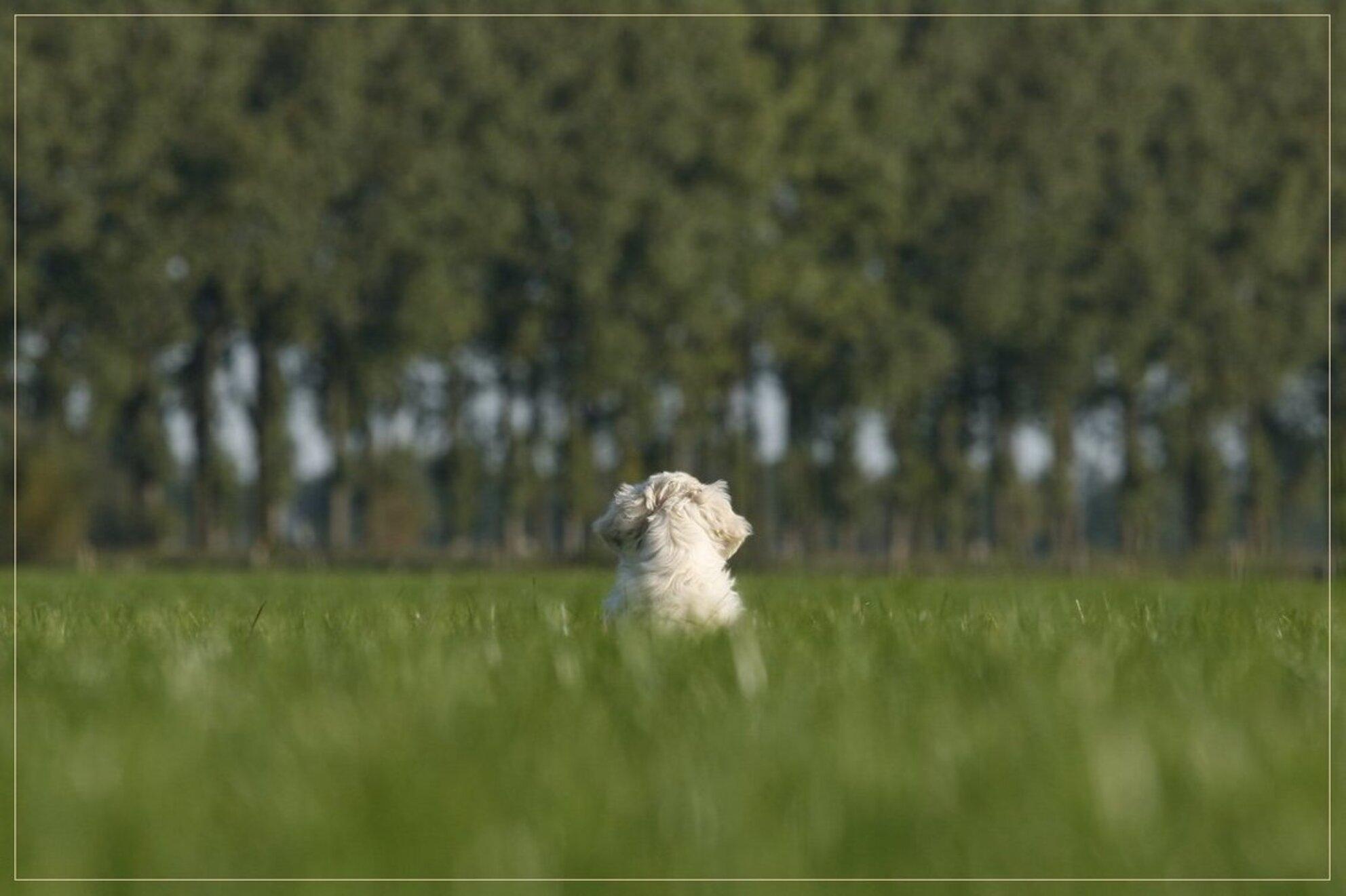 de wijde wereld - Hoi allemaal  Hier zit Bogyi de wijde wereld in te kijken tijdens zijn eerste uitstapje. Wisten we maar wat er in zo'n bolletje om ging op zo'n mo - foto door Evert61 op 30-11-2009 - deze foto bevat: natuur, dieren, hond, honden, golden, retriever, pup, puppie, goldenretriever - Deze foto mag gebruikt worden in een Zoom.nl publicatie