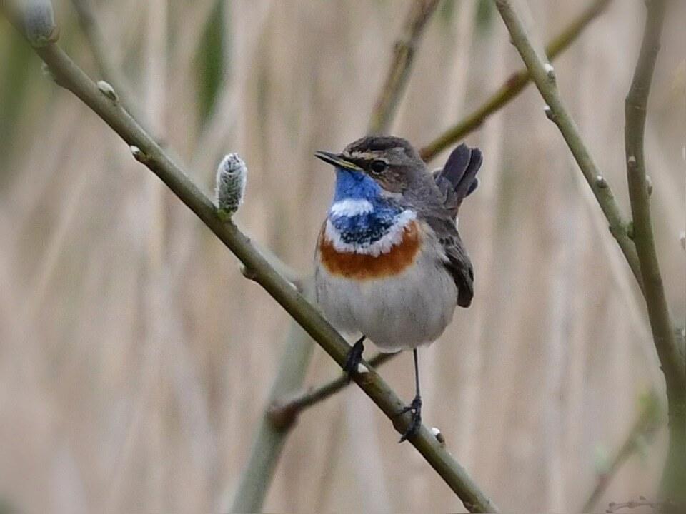 Blauwborst  - Blauwborst  - foto door Colinda111 op 13-04-2021 - locatie: Aalsmeer, Nederland - deze foto bevat: blauwborst, vogels, oog, vogel, bek, takje, afdeling, veer, zangvogel, staart, hout, terrestrische dieren