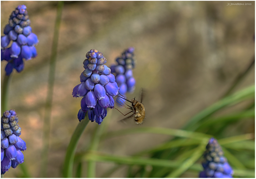 Blauwe druif-bezoek.............. - ..................................van een Wolzwever     - foto door Jo53 op 15-04-2021 - deze foto bevat: bloem, fabriek, druif hyacint, blauw, terrestrische plant, bodembedekker, bloeiende plant, fruit, elektrisch blauw, bloemblaadje