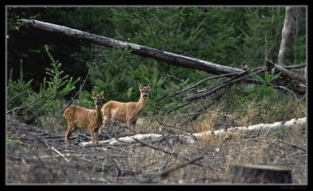 Moeder en dochter - Een foto uit september 2009 Moeder en dochter waren tussen de begroeing op zoek naar wat eetbaars,toen ik ze zag heb zoveel mogelijk dekking gezocht - foto door wildspotter op 21-02-2010 - deze foto bevat: ree, reeen, hert, wildspotter, capreoluscapreolus