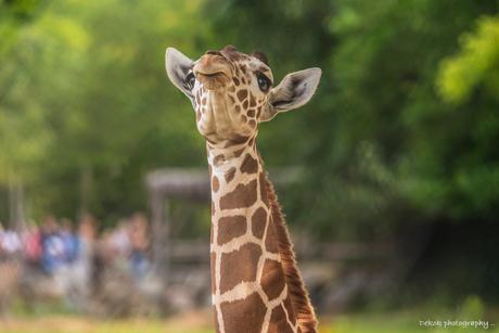 Giraffe kalf Maartje .