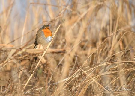 roodborstje - - - foto door AndyvdSteen op 02-03-2021 - deze foto bevat: natuur, roodborstje, dieren, vogel, roodborst, wildlife