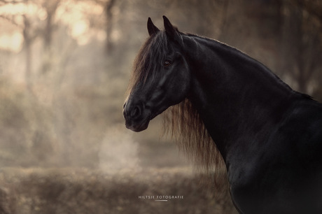 Tymen het Friese paard