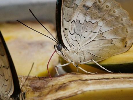 Vlinder ,lekker hapje