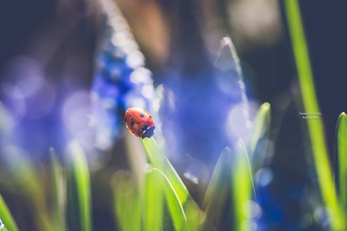 Hello March - - - foto door bloempje76 op 01-03-2021 - deze foto bevat: macro, blauw, zon, lente, natuur, lieveheersbeestje, tuin, zomer, insect, canon, bokeh, blauw druifje