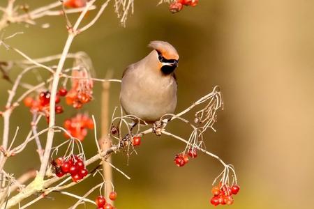 Pestvogel(1) - Met een opname van deze wintergast,die ik vorig jaar kon maken in mijn woonplaats,wens ik iedere zoomer een gezond en zoomrijk 2021 toe in de hoop,da - foto door GerardvO op 03-01-2021 - deze foto bevat: natuur, vogel