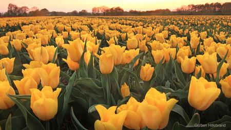 Vrolijk Pasen - Een mooi tulpenveld in het oosten van het land - foto door gerbenhillebrand op 20-04-2019 - deze foto bevat: lucht, lente, licht, tulp, zonsondergang, tegenlicht, zonsopkomst, voorjaar, tulpenveld, gerben, gele tulp, bloemen veld