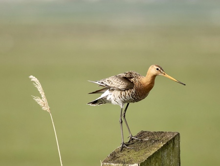 Zo heb ik een goed overzicht  - Grutto  - foto door Jeanettevanroijen op 04-05-2021 - deze foto bevat: vogel, bek, strandloper, veer, vleugel, dowitcher, zeevogel, watervogel, hout, grasland