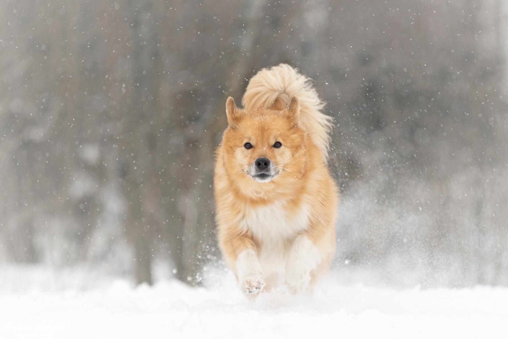 Actie in de sneeuw - Bryja geniet met een grote G van de sneeuw! - foto door MarleenVerheulFotografie op 10-02-2021 - deze foto bevat: dieren, huisdier, hond, hondenfotografie, hondenfotograaf - Deze foto mag gebruikt worden in een Zoom.nl publicatie