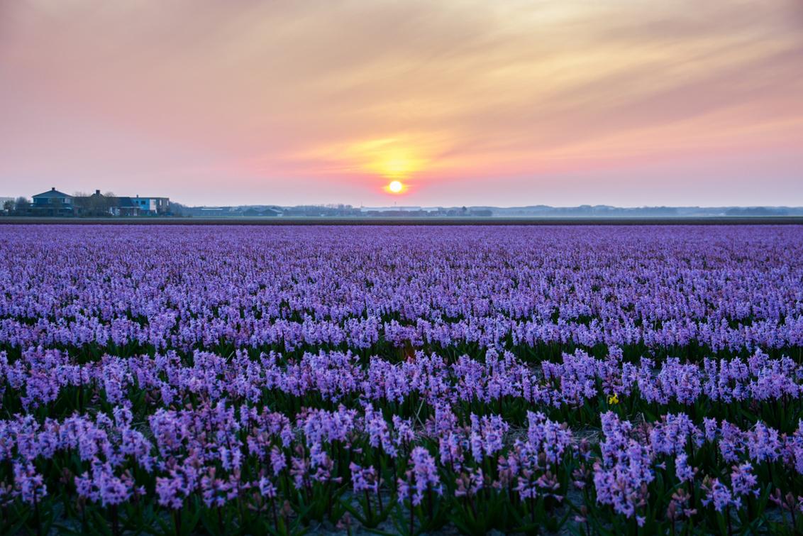 Ons achtertuintje, het is weer zover - De hyacinten staan sinds deze week volop in bloei, de narcissen raken aan hun einde en de tulpen komen er aan. Het is weer een pracht rondom ons huis - foto door venomi op 30-03-2014 - deze foto bevat: landschap, duinen