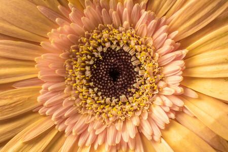 oranje roze gerbera - close up van oranje roze gerbera - foto door pinda123 op 16-11-2013 - deze foto bevat: roze, bloem, gerbera, oranje, bloemen