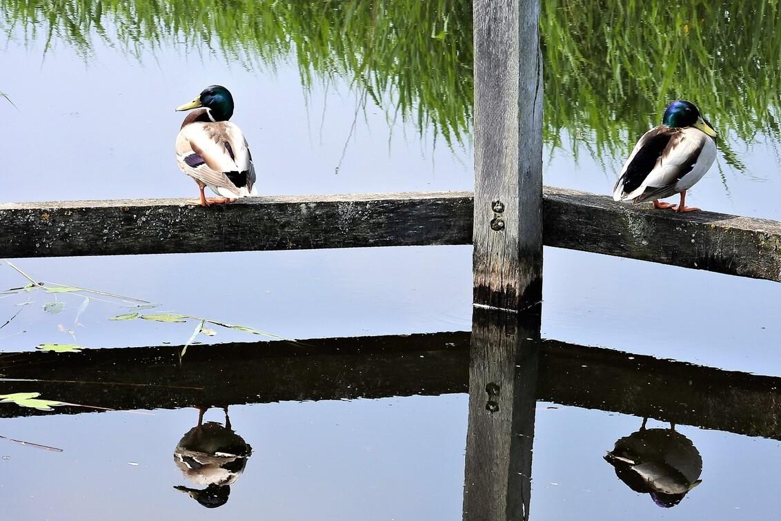 2 + 2 =vier - Chillen bij het water... - foto door bernadette-willemsen op 31-05-2018 - deze foto bevat: eenden, natuur, voorjaar