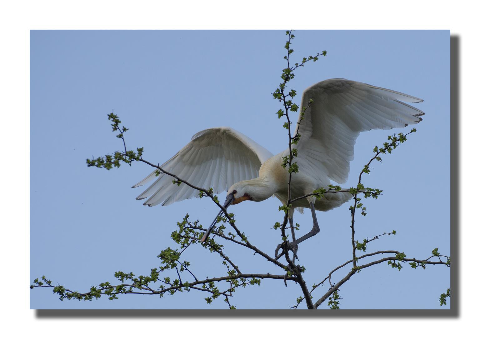 de lepelaar - deze prachtige lepelaar op de foto gezet. - foto door jeanet1971 op 11-04-2021 - locatie: Delft, Nederland - deze foto bevat: lucht, bestuiver, insect, takje, vleugel, veer, modeaccessoire, dieren in het wild, staart, bek