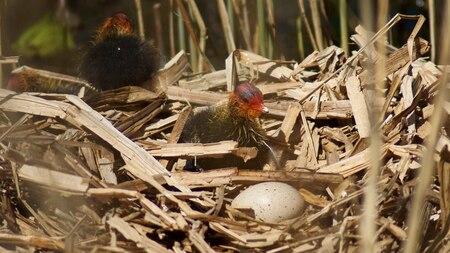 Net uit het ei - - - foto door TrudyH op 26-04-2009 - deze foto bevat: lente, natuur, vogels, meerkoet, dieren, vogel, voorjaar, jong