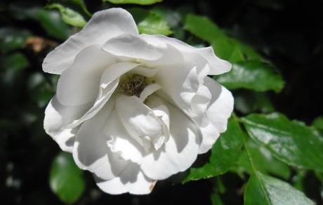 Witte, wilde roos Capelle aan den IJssel