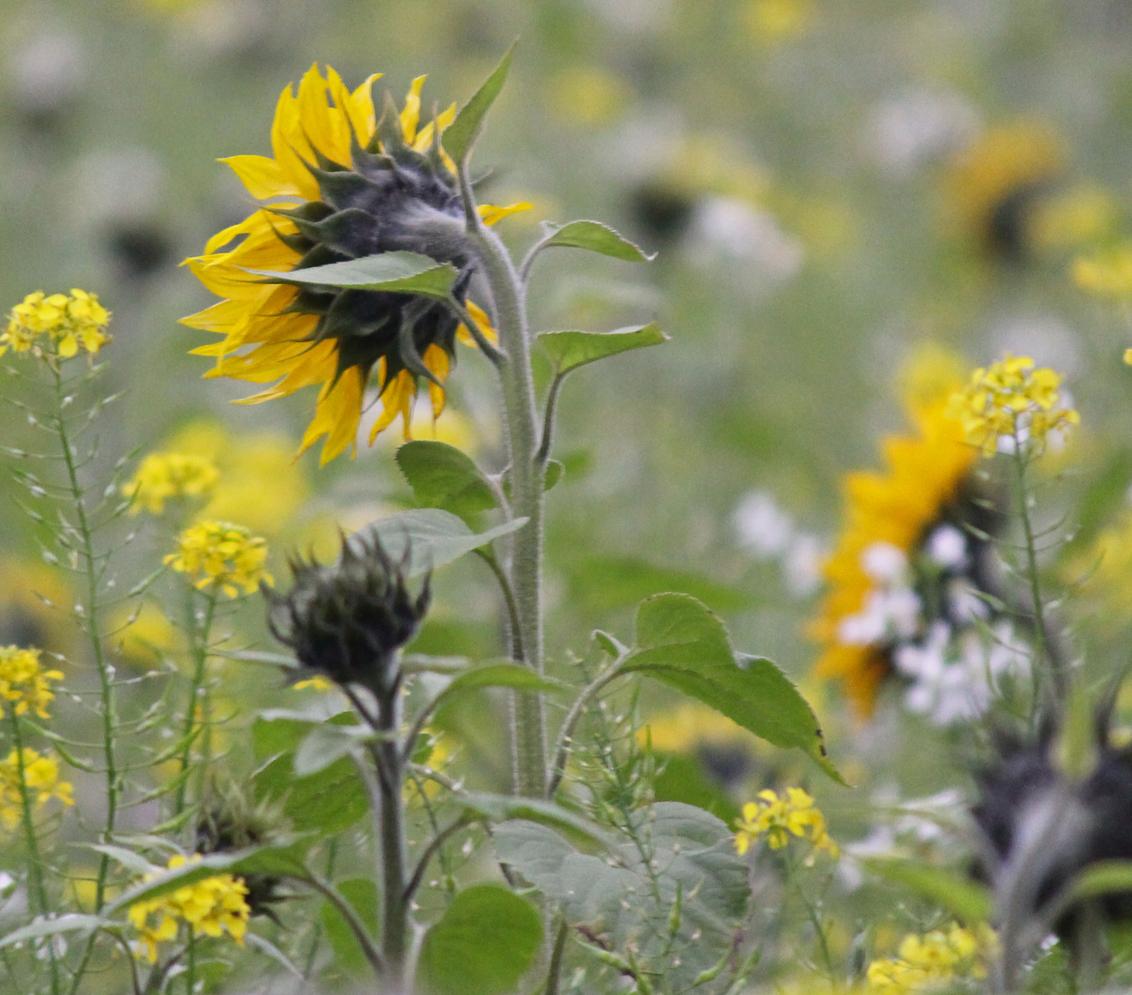 Verdrietig - Een veld bloemen en alle zonnebloemen 'keken' de andere kant op met hangende kopjes. Een treurig, maar prachtig gezicht. - foto door renatebobo op 01-11-2015 - deze foto bevat: groen, bloem, zonnebloem, natuur, geel, landschap, limburg, nederland