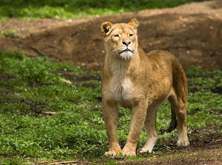 Leeuwin - Deze leeuwin hield e.e.a. in de gaten. - foto door Dutcheric op 13-06-2010 - deze foto bevat: dierentuin, burgers, leeuw, zoo, roofdier