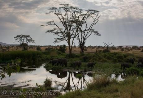Olifanten bij Waterplas