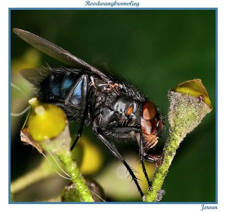 Een roodwangbromvlieg...