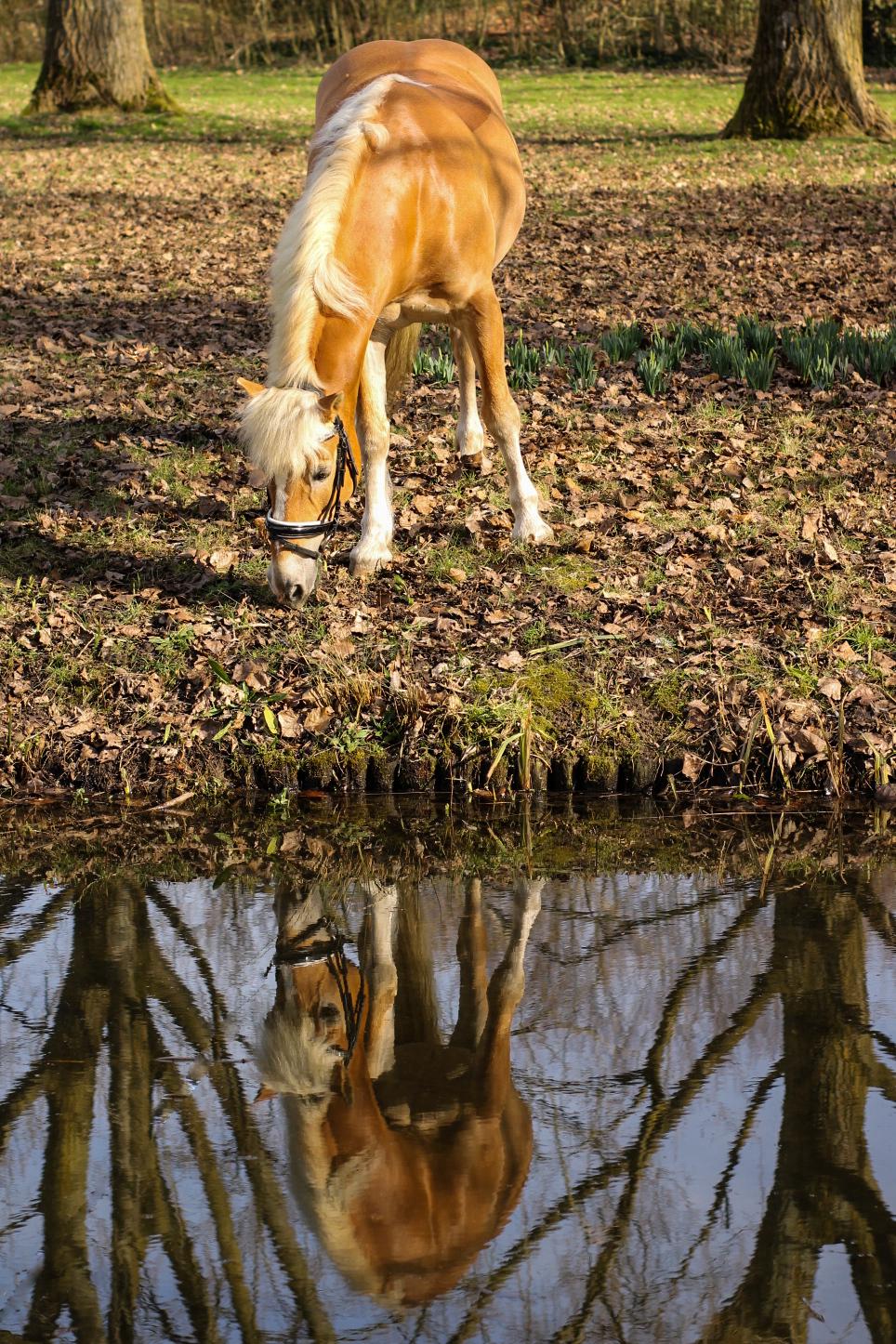 Reflectie van paard in het water - Reflectie van paard in het water - foto door Mirr91 op 26-02-2021