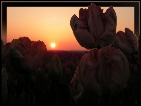 Tulip sun down