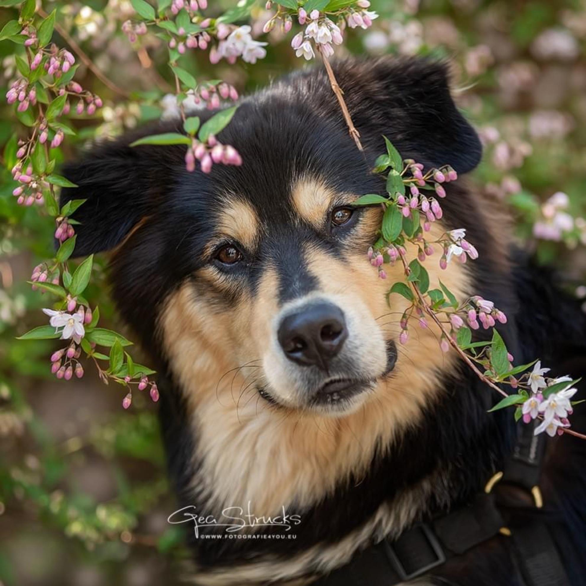 96254C00-FF97-4132-9F68-5AF175A4B5E8 - Prachtig Ravi tussen de bloesem. Dit geeft je meteen dat geweldige lente gevoel - foto door madcorona op 21-04-2020 - deze foto bevat: lente, bloemen, hond, honden, bloesem - Deze foto mag gebruikt worden in een Zoom.nl publicatie