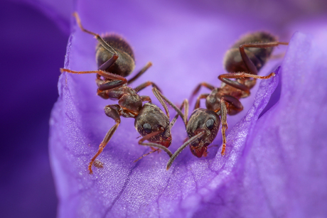 Twee mieren op paars Viooltje