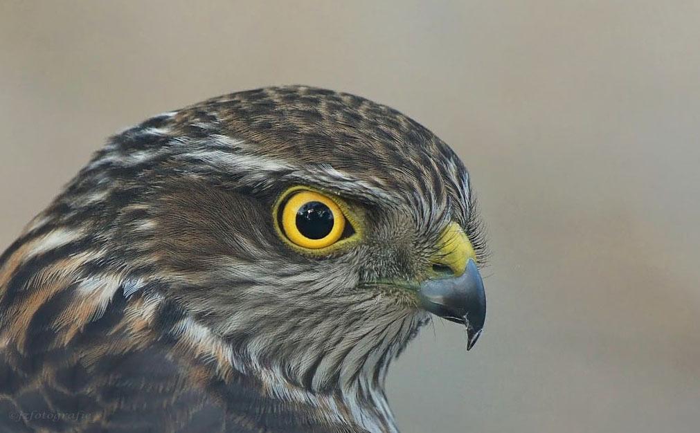Mooi koppie - Close up van een roofvogel, voor mij één van de leukste onderwerpen om te fotograferen.  Groeten en een heel fijn weekend toegewenst, Joop - foto door jzfotografie op 18-09-2015 - deze foto bevat: kleuren, bruin, geel, oog, roofvogel, achtergrond, contrast, egaal, verenkleed, snavel scherpte, scherpte koppie