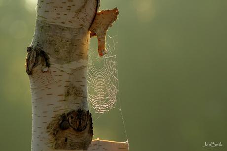 De boom, het web, geen spinnetje.