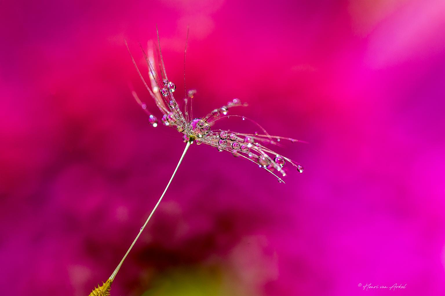 Magic Waterdrops - Druppels op een pluizenbol. - foto door henrivanarkel op 29-04-2021 - deze foto bevat: waterdruppels, waterdrops, macrofotogfafie, bloem, water, fabriek, bloemblaadje, purper, terrestrische plant, takje, paars, boom, vochtigheid
