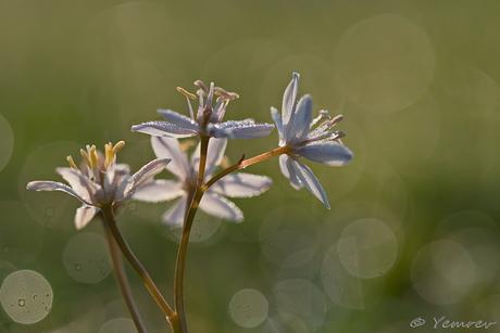 Witte Sterhyacint
