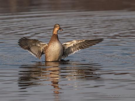 Dance of the Wild Duck