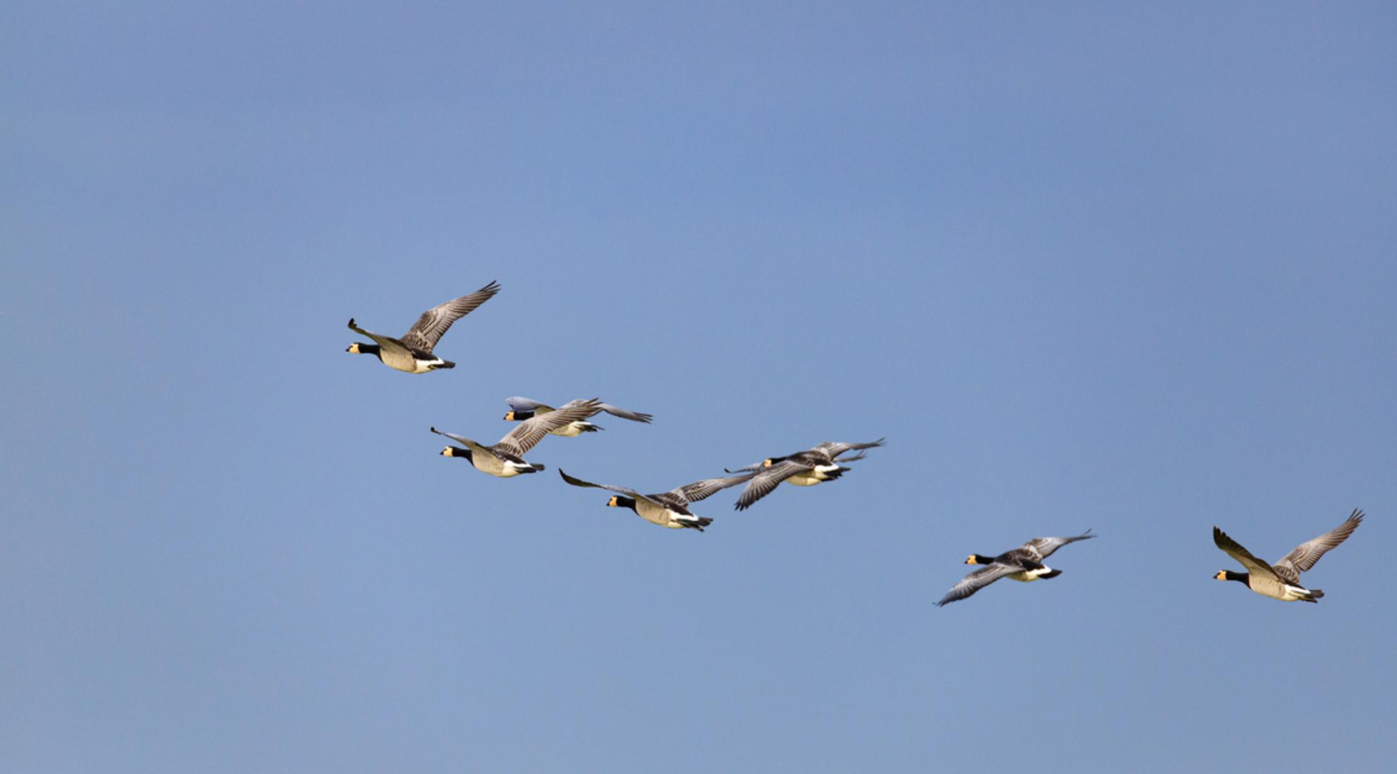 samen sterk - - - foto door lianedeprost op 02-03-2021 - deze foto bevat: eenden, vogel, vlucht - Deze foto mag gebruikt worden in een Zoom.nl publicatie