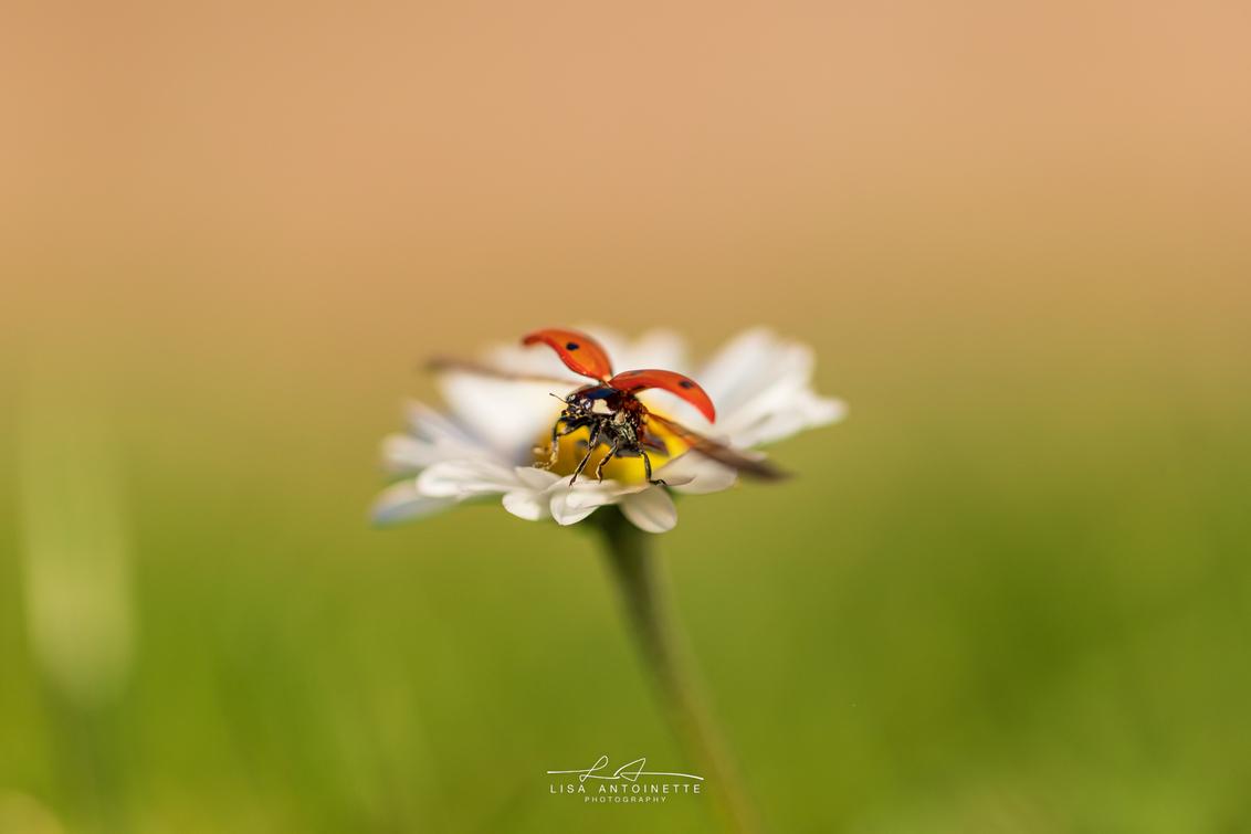 Lieveheersbeestje - - - foto door LisaAnn91 op 03-03-2021 - deze foto bevat: macro, zon, bloem, lente, natuur, lieveheersbeestje, licht, blad, dieren, landschap, tegenlicht, voorjaar, insect, nederland, wildlife, madeliefje