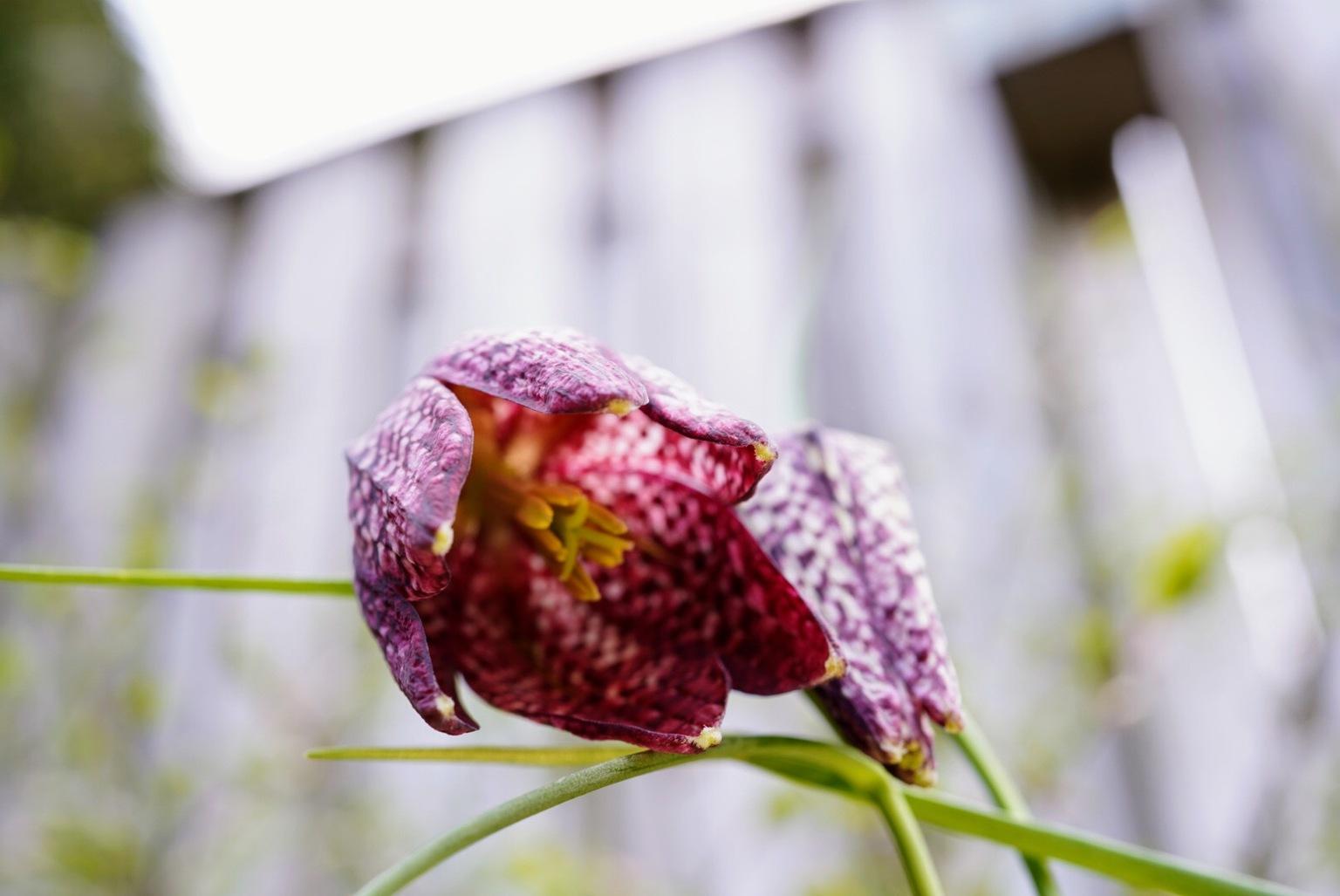 Kievietsbloem - Van beneden - foto door Frenk2021 op 11-04-2021 - locatie: Veldhoven, Nederland - deze foto bevat: kievietsbloemen, voorjaar, bloem, fabriek, snake's hoofd, purper, bloemblaadje, terrestrische plant, bloeiende plant, magenta, kunst, takje