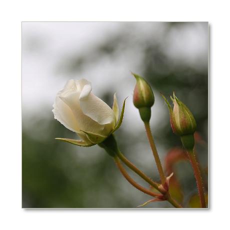 roosje
