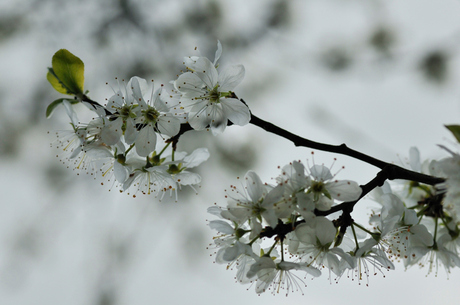 Appelboom in de bloesem