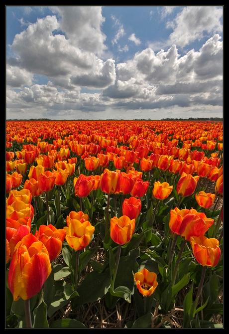 Tulpen uit....
