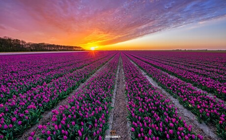 Tulpenveld, zonsondergang en wolkenlucht op Texel.