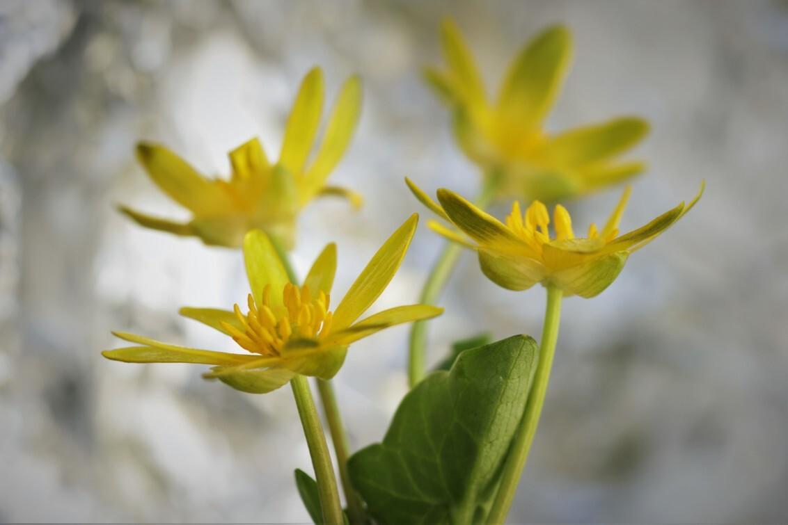 speenkruid - speenkruid ontwaakt op beschutte plaatsen. LENTE. - foto door mieke58 op 04-03-2021 - deze foto bevat: groen, macro, wit, bloem, lente, natuur, geel, licht, tuin, dof, bokeh