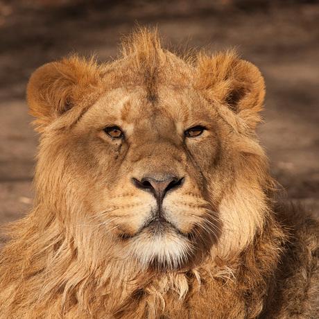 Azistische Leeuw