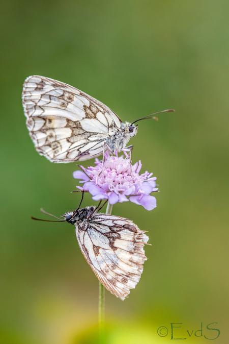 Ondersteboven van elkaar - Het echtpaar Dambordje helemaal ondersteboven van elkaar ;-) - foto door EvanderS op 17-07-2019 - deze foto bevat: groen, macro, bloem, natuur, vlinder, zomer, dambordje, viroinval