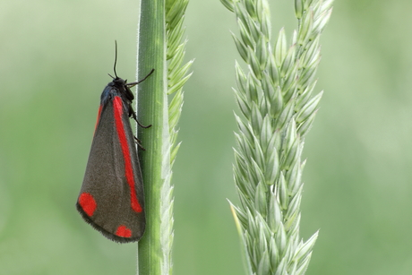 Sint-jacobsvlinder op rietgras
