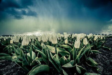 Regen gordijn - Witte tulpenveld bij Wervershoof - foto door p.heins op 12-04-2021 - locatie: 1693 Wervershoof, Nederland - deze foto bevat: tulp, tulpenveld, wolken, landschap, bloem, wolk, fabriek, lucht, bloemblaadje, plantkunde, natuurlijk landschap, mensen in de natuur, vegetatie, terrestrische plant