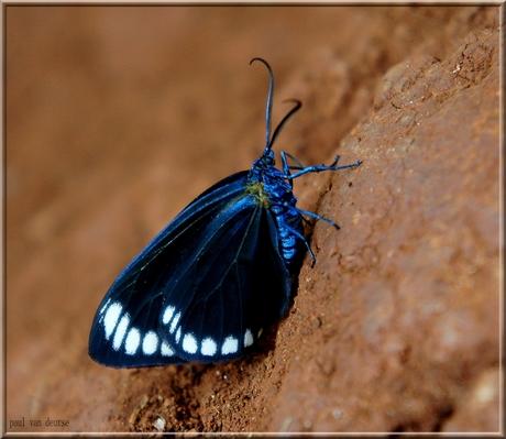 vlinders thailand