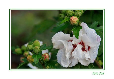 Hibiscus na regen