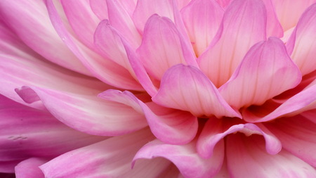 Pink Dahlia - - - foto door MarianneJH op 21-06-2015 - deze foto bevat: roze, macro, bloem, natuur, tuin, dahlia