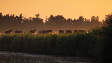 Paarden in de Biesbosch